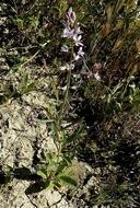 Streptanthus anceps