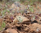 Antennaria flagellaris