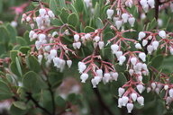 Arctostaphylos viscida ssp. pulchella