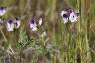 Astragalus claranus