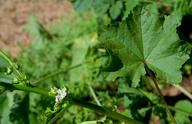 Malva parviflora