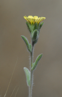 Lagophylla ramosissima