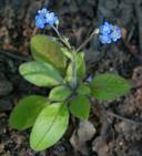 Myosotis latifolia