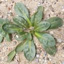 Agoseris apargioides