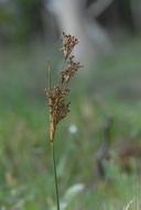 Juncus acutus ssp. leopoldii