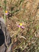 Corethrogyne filaginifolia var. filaginifolia