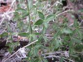 Galium hilendiae