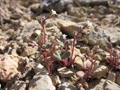 Phacelia barnebyana