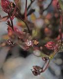 Campanula griffinii