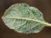 Eriogonum nudum var. westonii