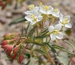 Eremothera boothii ssp. desertorum