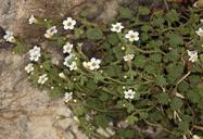 Phacelia perityloides var. perityloides