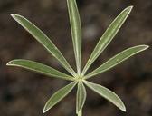 Lupinus argenteus var. meionanthus