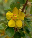 Fremontodendron californicum