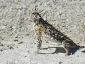 "An adult male P. cornutum<br /><strong>Location:</strong> Hueco Tanks State Park (El Paso, Texas, US)<br /><strong>Author:</strong> <a href=""http://calphotos.berkeley.edu/cgi/photographer_query?where-name_full=Vicente+Mata-Silva&one=T"">Vicente Mata-Silva</a>"