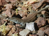 "An adult A. exsanguis.<br /><strong>Location:</strong> Hueco Tanks State Park (El Paso, Texas, US)<br /><strong>Author:</strong> <a href=""http://calphotos.berkeley.edu/cgi/photographer_query?where-name_full=Vicente+Mata-Silva&one=T"">Vicente Mata-Silva</a>"