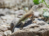 "An adult female C. texanus.<br /><strong>Location:</strong> Dripping Springs State Park (Dona Ana County, New Mexico, US)<br /><strong>Author:</strong> <a href=""http://calphotos.berkeley.edu/cgi/photographer_query?where-name_full=Vicente+Mata-Silva&one=T"">Vicente Mata-Silva</a>"