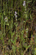 Small-flower Catchfly