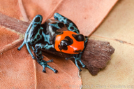 Blessed Poison Frog