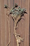 Trifolium gymnocarpon ssp. plummerae