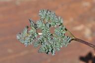 Lomatium roseanum