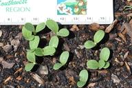 Onopordum acanthium ssp. acanthium