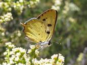 Lycaena hermes