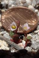 Calyptridium pygmaeum