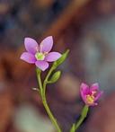 Centaurium calycosum