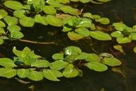 Ludwigia peploides ssp. peploides