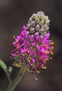 Searls Prairie Clover