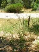 Bromus carinatus var. carinatus