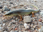 "An adult Plestiodon obsoletus crossing an arroyo.<br /><strong>Location:</strong> Indio Mountains Research Station (Hudspeth County, Texas, US)<br /><strong>Author:</strong> <a href=""http://calphotos.berkeley.edu/cgi/photographer_query?where-name_full=Vicente+Mata-Silva&one=T"">Vicente Mata-Silva</a>"