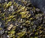 Pleuridium mexicanum