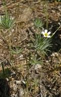 Leptosiphon ciliatus