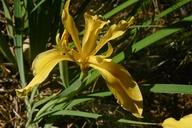 Iris hartwegii ssp. hartwegii