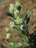 Galium serpenticum