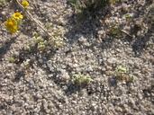 Linanthus maculatus ssp. emaculatus
