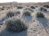 Lupinus albifrons var. medius