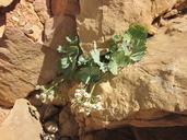 Cymopterus gilmanii