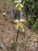 Streptanthus glandulosus ssp. sonomensis
