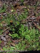 Drymocallis glandulosa var. wrangelliana