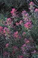 Pale Narrow-leaf Paintbrush
