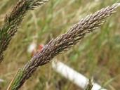 Deschampsia cespitosa ssp. holciformis