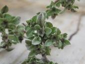 Hesperevax sparsiflora var. brevifolia
