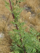 Artemisia norvegica ssp. saxatilis