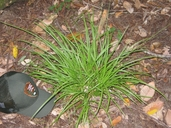Carex leptopoda