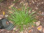 Carex deweyana ssp. leptopoda