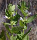 Scutellaria bolanderi