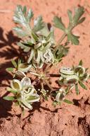 Cymopterus newberryi
